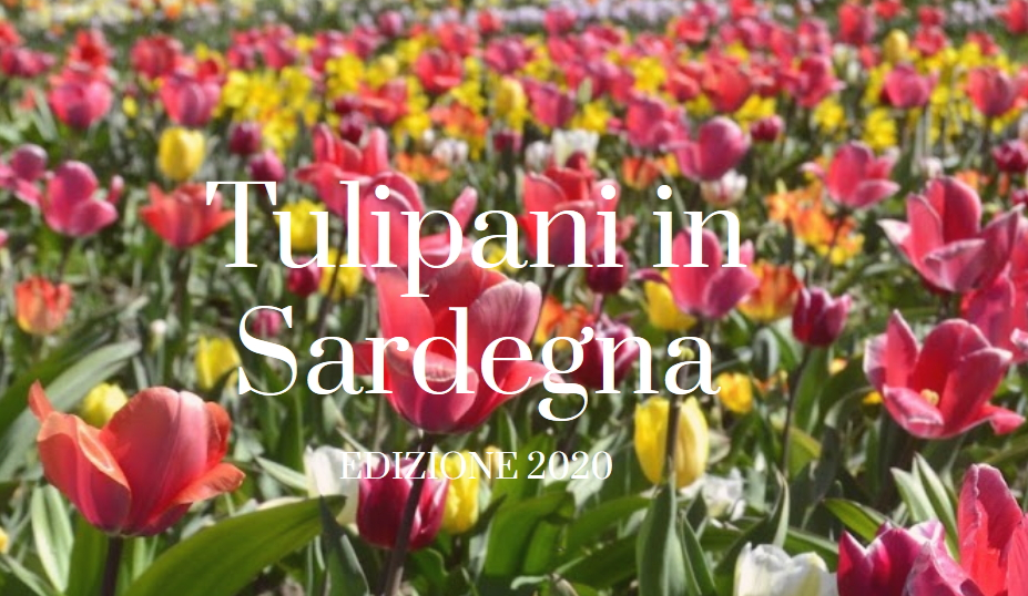 tulipani in sardegna